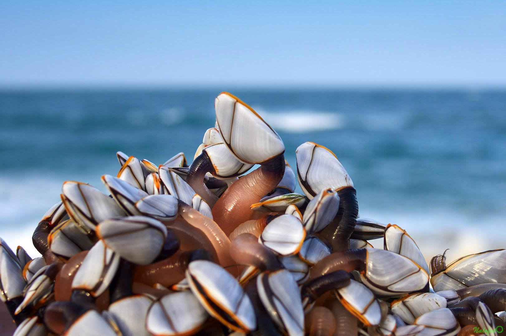 nature bretonne - Amas de Anatifes accroché à une bouée échouée sur la plage près des carrières de Fréhel