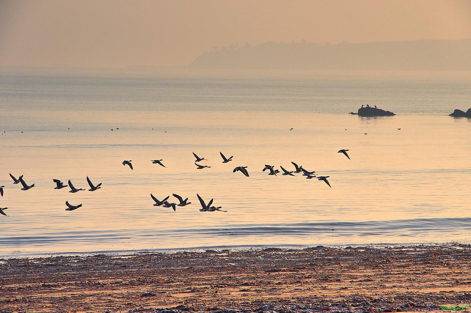 L'instant nature - nature bretonne : Oies bernaches en vol, à l'aube, dans la baie de la Fresnaye