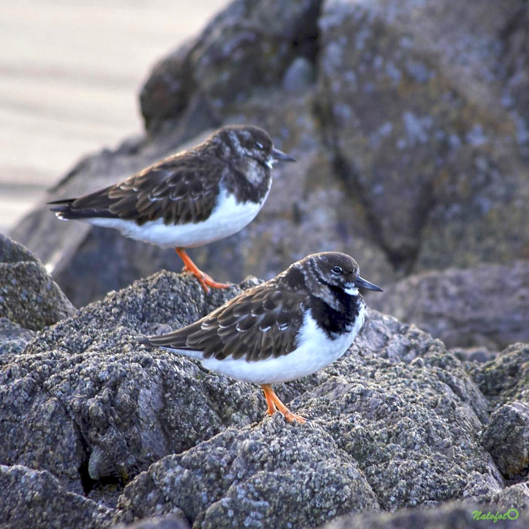 nature bretonne - tournepierre sur les rochers, Plévenon Cap Fréhel