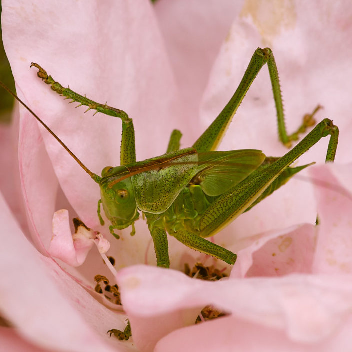 Sauterelle verte dans une rose du jardin de Kernalo
