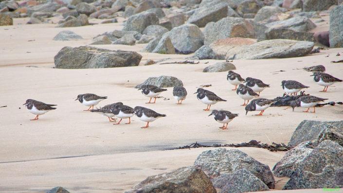 nature bretonne - Oiseaux profitant de la marée basse de la plage de Plévenon Cap Fréhel