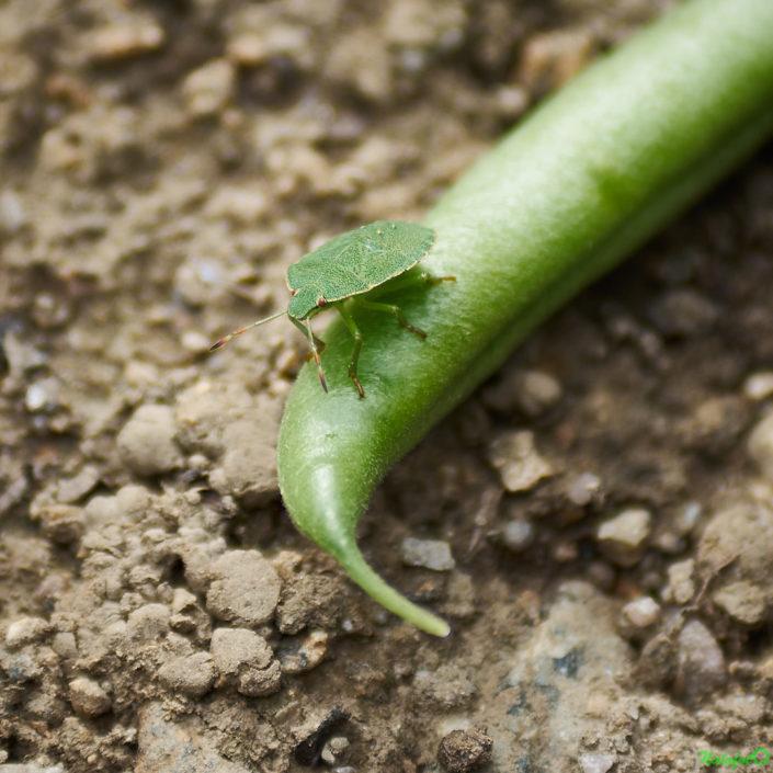 Punaise verte sur un haricot vert dans le jardin de Kernalo