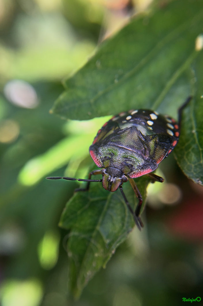 Punaise colorée dans le jardin de Kernalo