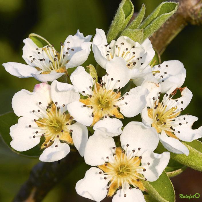 Jardin de Kernalo - fleurs de poiriers
