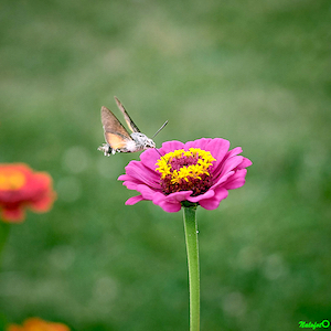 Papillon colibri ou Moro Sphinx sur fleur de zinnia du jardin de Kernalo