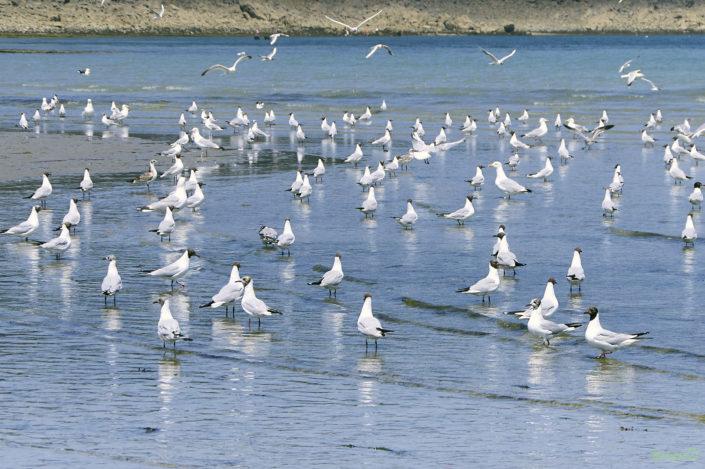Baie de la Fresnaye - mouettes à la marée montante