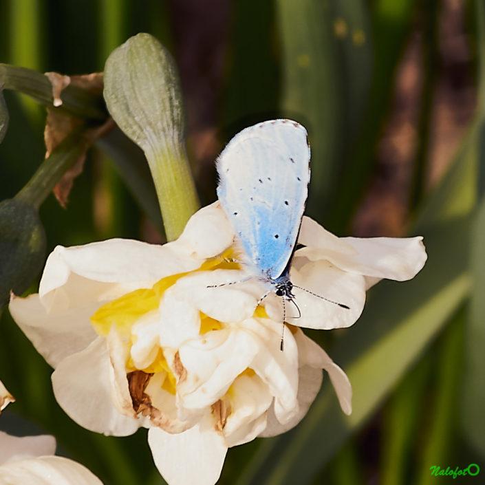 L'instant nature - Petit papillon bleu Argus bleu céleste sur fleur de jacinthe dans le jardin de Kernalo