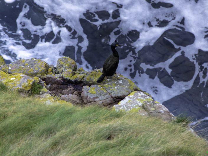 Cormoran sur son plongeoir