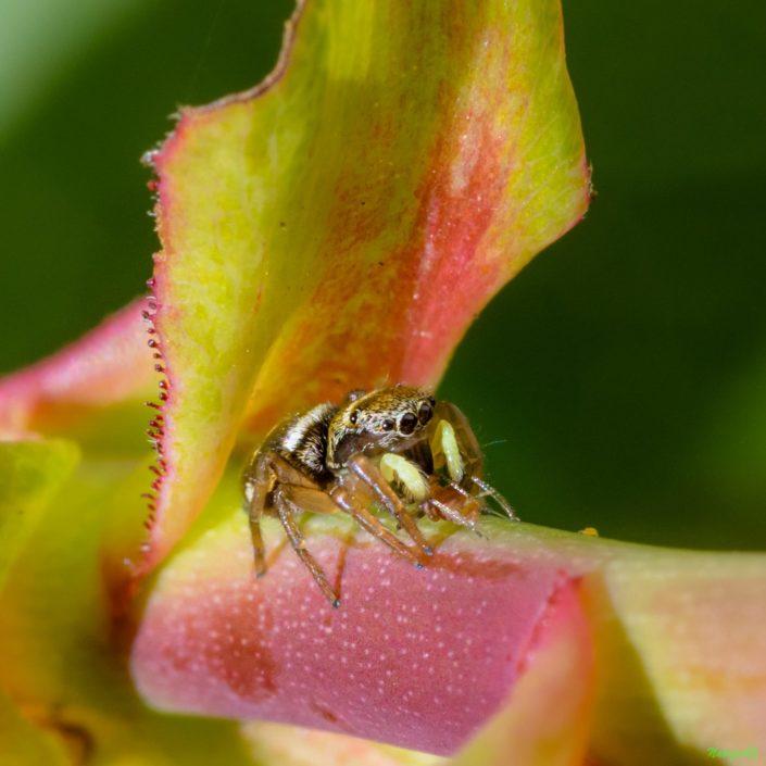 Petite araignée Heliophanus tribulosus