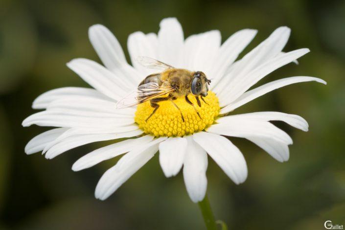 Pollinisateur sur une marguerite dans le jardin de Kernalo