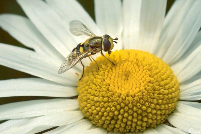Syrphe sur une fleur de Marguerite