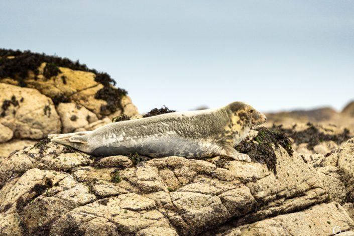 découverte des 7 iles - phoque en méditation sur l'île plate