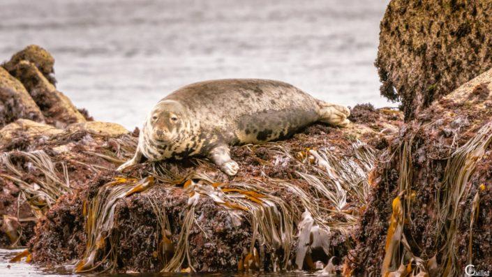 découverte des 7 iles - Phoque en sieste sur l'île plate