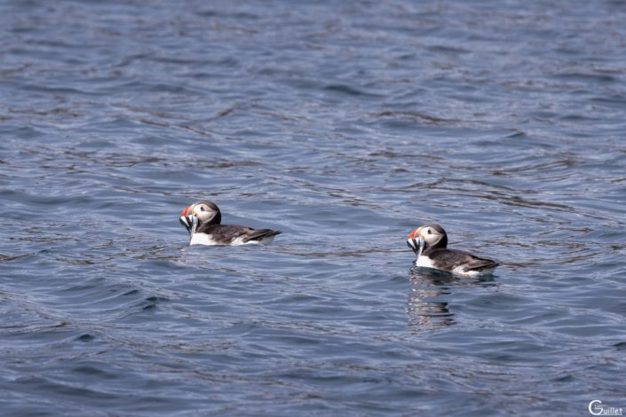découverte des 7 iles - Macareux à la pêche