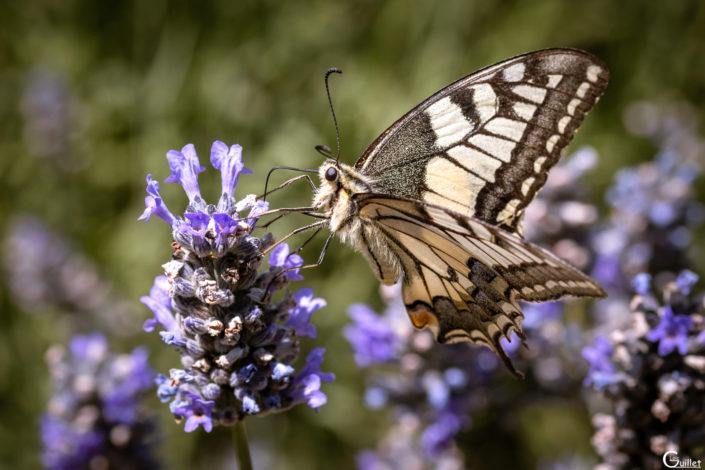 Papillon Mahcaon dans la lavande