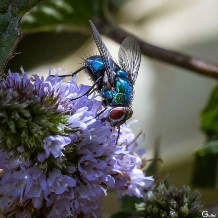 Mouche bleu