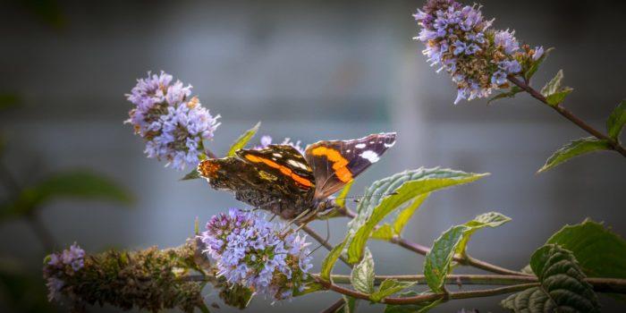 Papillon Vulcain sur les fleurs de menthe poivrée