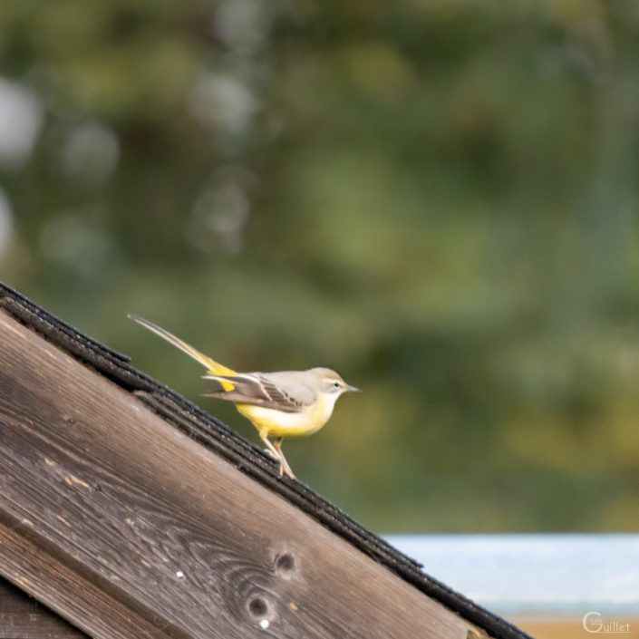 Bergeronnette jaune