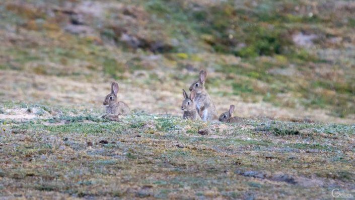 Crozon : Petits lapins à la tombée de la nuit